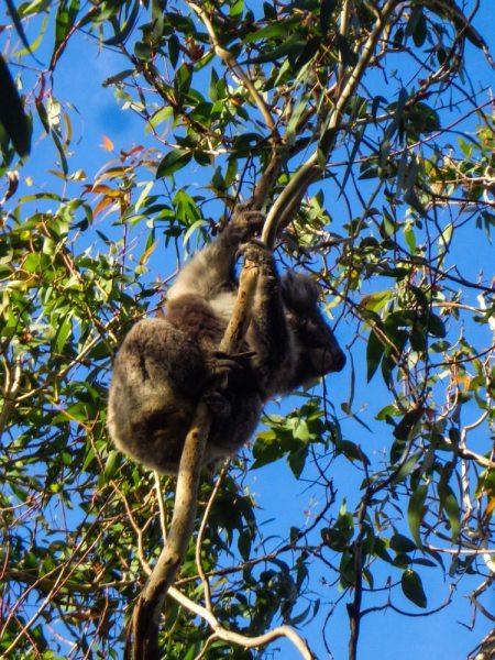 great ocean road koala in a tree