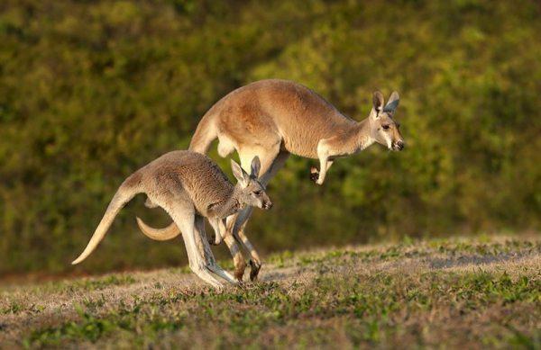 reasons to love Australia Kangaroo