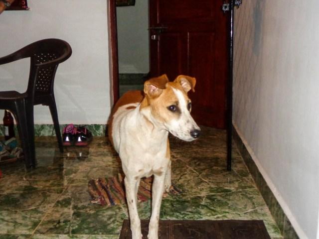 dogs anjuna_