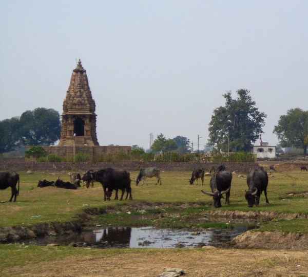 Buffaloes and ancient temples in the countryside around Khajuraho