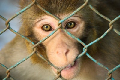 As of 2010, 125,752 primates are kept in United States laboratories for experimentation as well as for breeding purposes, according to the American Anti-Vivisection Society. Photo Credit: Mahran Fadlullah / Getty