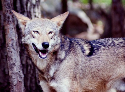 The recent discovery of a red wolf corpse, and separate radio collar have the U.S. Fish and Wildlife Service asking questions. Photo credit: e_monk via flickr
