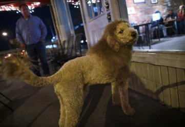 Dog Breeds, Funny Labradoodles: This labradoodle is part dog, part lion, not part poodle, part labrador