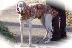 Greyhound winter