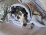 Greyhound in blanket
