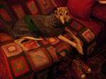 Bundled up greyhound on couch