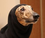 greyhound hood