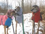 greyhounds in snow