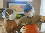 Dog Pumpkin Surgery