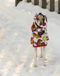Greyhound dog standing in snow