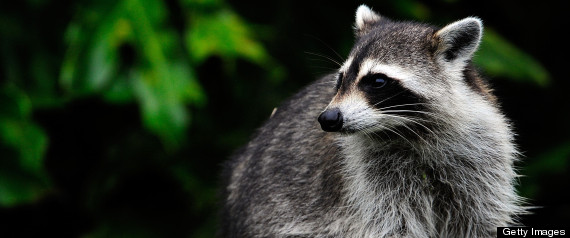 Raccoons throughout the West Coast of the United States may put humans at risk for a fatal strain of brain cancer. Photo Credit: Getty Images
