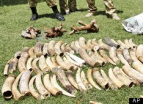 Kenyan Wildlife wardens keep a watch on confiscated elephant tusks at the Kenyan wildlife offices in Nairobi, Kenya, Wednesday, Jan. 16, 2013. Photo Credit: AP Photo/Khalil Senosi