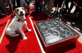 Uggie at his paw print ceremony. Photo Credit: tppc.tv