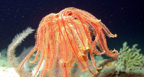 A modern crinoid. Photo Credit: NURC/UNCW and NOAA/FGBNMS