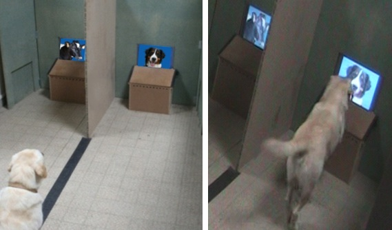 During the experiments, the dogs sat in front of the experimenter, on a line between the two screens. When hearing an order, the dogs expressed their choice by going to a given screen and putting a paw in front of the chosen image. Photo Credit: Dominique Autier-Dérian