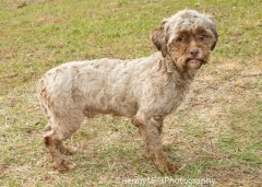 Tonik is a poodle-shih tzu mix that is up for adoption at Homeward Bound Pet Rescue in Mishawaka, Ind. Photo Credit: Renny Mills Photography