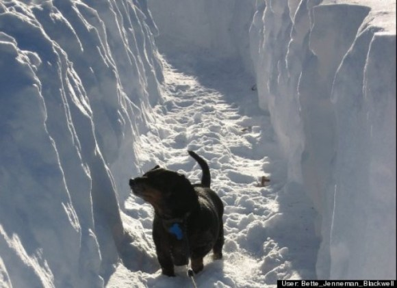 Bridgeport, CT dachshund, Sage, refuses to let a massive overabundance of snow squash her inquisitive nature. Truth be told, the deeper the snow, the more she likes it, much to the dismay of her humans.