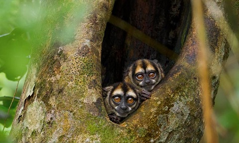 Owl monkeys peek out of a tree in Yasuni National Park, Ecuador. Photo Credit: Tim Laman, National Geographic