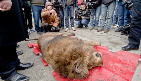 Authorities along with members of the animal welfare charity sedated the exotic animals that were being kept in the gangster's heavily guarded Bucharest compound and moved them to a zoo. The environment authorities have reported that all of the animals appeared to be in good health. Photo Credit: inquisitr.com