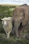 Cute Animal Photo Sheep And Elephant