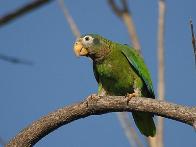 yellow billed parrot