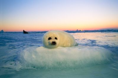 Baby harp seals, native to the northern Atlantic, are prime targets during commercial seal hunting. Photo Credit: Nation Geographic