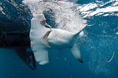 Researchers tag sharks as gently as possible to cause the least amount of trauma. Photo Credit: Christine Shepard