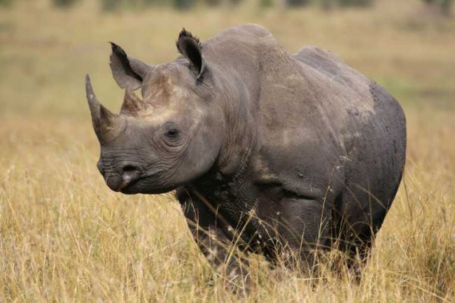 Rhinos all over the world continue to be murdered for their ivory horns. Photo Credit: earthtimes.org