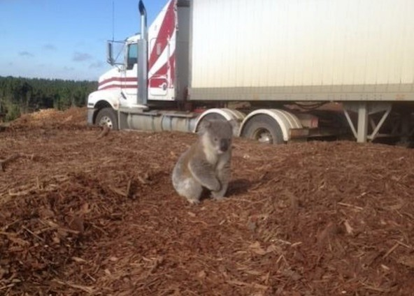 A lone koala bear tries to return home after deforestation. Photo Credit: Ecorazzi