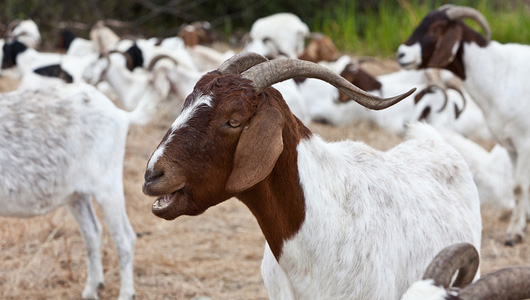 Fort Bragg in Fayetteville, N.C., kills 300 goats a month in medical trauma training, according to government documents. PETA says the facility accounts for a third of all animal deaths caused by the military. Photo Credit: mikebaird/Flickr
