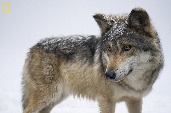 The Mexican gray wolf (Canis lupus baileyi) is the most rare subspecies of gray wolf in North America. It is listed as critically endangered by the IUCN. Photo Credit: Joel Sartore, National Geographic