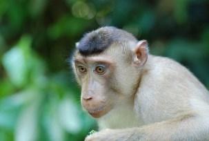 See the many monkeys that inhabit the Malaysian Borneo. Photo Credit: Paul Mannix