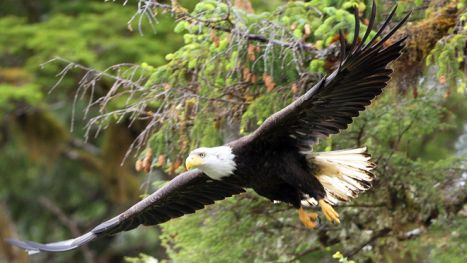 Watch bald eagles soar in the great Alaskan wilderness. Photo Credit: Austin-Lehman Adventures