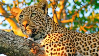 Watch leopards sitting in the Kenyan treetops. Photo Credit: Austin-Lehman Adventures