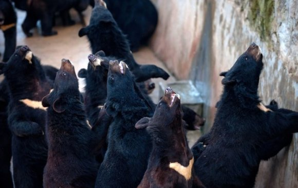 Bears suffer horrible conditions, while at the mercy of China's alternative medice industry. Photo Credit: Mu Chen
