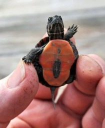 Baby Painted turtle. Photo Credit: Gary Walts/The Post-Standar