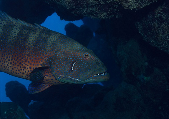 "The Red Sea roving coralgrouper can use ""sign language"" to hunt. Photo Credit: Klaus Jost, University of Michigan's Animal Diversity Web"