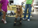 Naki'o dog walks with prosthetic bionic paws