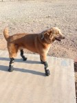 Naki'o dog with prostethic limbs