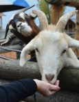 funny goat photobomb