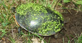 A Nesting Painted Turtle. Photo Credit: F.J. Janzen