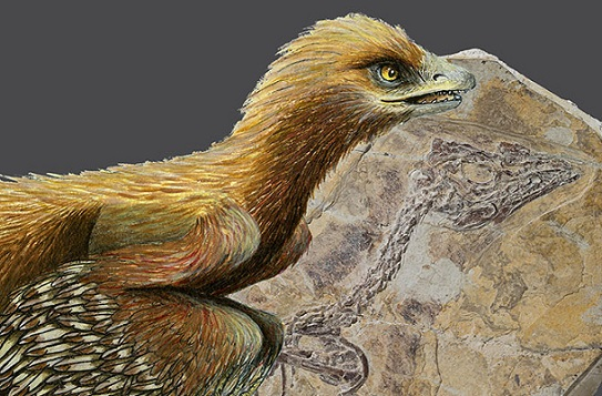 An image of the reconstruction of Aurornis xui, the world's oldest known bird. Photo Credit: Jonica Dos Remedios, Claude Desmedt, IRSNB