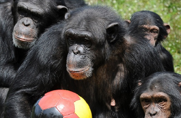 The United States Fish and Wildlife Service announced a proposal that could potentially designate all chimpanzees as endangered. Photo Credit: Peter Steffen, AFP, Getty Images
