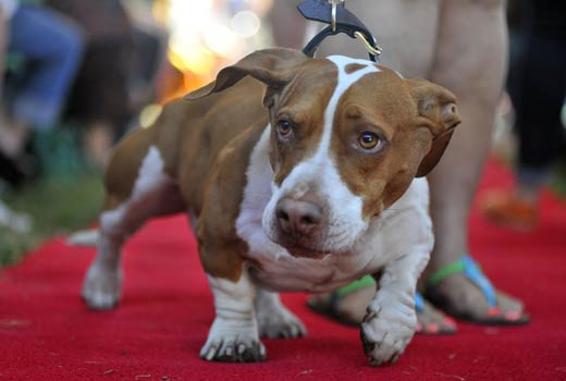The 4-year-old beagle, boxer and bassett hound mix went on to win top honors. (AP Photo/Noah Berger)