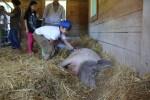 Nadine the pig at Catskill Animal Sanctuary
