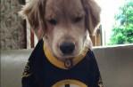 Boston Bruins Dog Ray Charles Golden Retriever