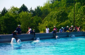 Marineland belugas possibly suffer because of their small environment. Photo Credit: Niagara News