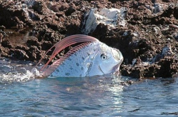 Usually a rare sight in the wild, an oarfish was found off the coast of the Gulf of Mexico. Photo Credit: meltybuzz