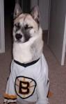 boston bruins nhl hockey dog