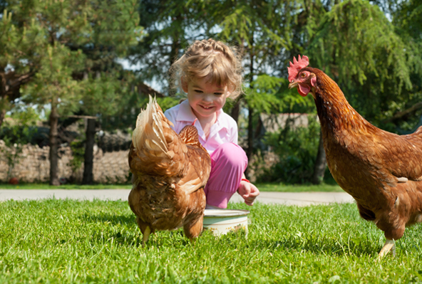 Chickens may be smarter than you think. Photo Credit: Shutterstock